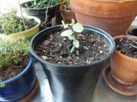 1 of 9 eucalyptus