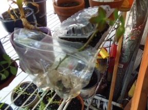 rose bush cutting being propogated with hormone in a sandwich bag
