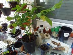 scotch bonnet pepper plant from last year