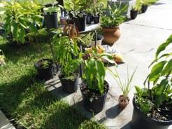 Kent Mangoes, Avocado, and Chives