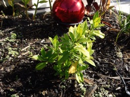 red gazing ball with gardenia bush