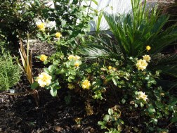 better view of yellow rose bush