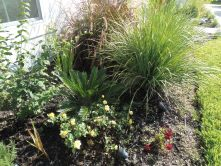 left side of walkway garden bed - again african iris, fire cracker grass, sago palm, yellow rose bush
