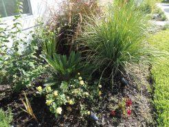 left side of walkway garden bed - again african iris, fire cracker grass, sago palm, yellow rose bush